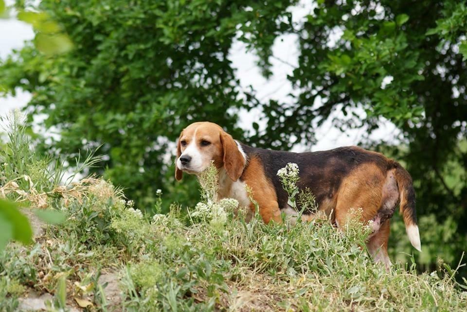 Bibi kurz nach Aufnahme ins Tierheim. Der Tumor konnte erfolgreich operiert werden.